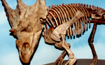 Chasmosaurus mount at DPP Field Station, Phaeton Image by DWR